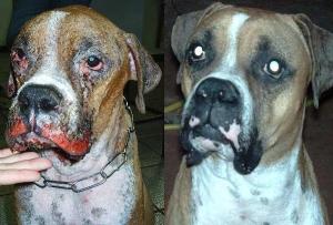 Cachorro antes e depois do tratamento da leishmaniose